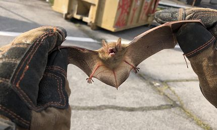 Denver Bat Removal